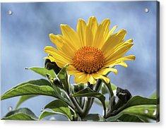 Acrylic Print featuring the photograph Sunflower  by Saija Lehtonen