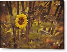 Acrylic Print featuring the photograph Sunflower Sentry by Douglas MooreZart