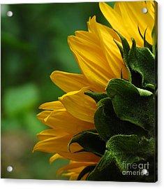 Sunflower Series I Acrylic Print
