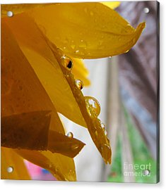 Sunflower Series II Acrylic Print