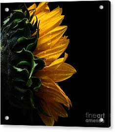 Sunflower Series IIi Acrylic Print