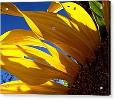 Sunflower Shadows Acrylic Print