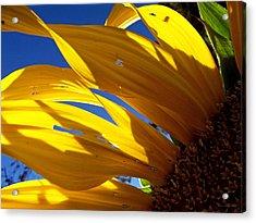 Sunflower Shadows Acrylic Print