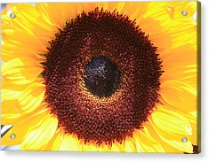 Sunflower Acrylic Print by Shirin Shahram Badie