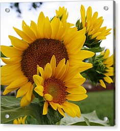 Acrylic Print featuring the photograph Sunflower Show by Bruce Bley
