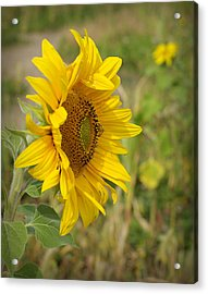 Sunflower Show Off Acrylic Print