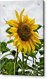 Sunflower Acrylic Print by SM Shahrokni
