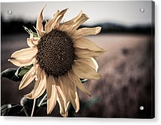 Sunflower Solitude Acrylic Print