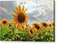 Sunflower Star Acrylic Print