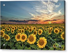 Sunflower Sunset Acrylic Print by Tod and Cynthia Grubbs