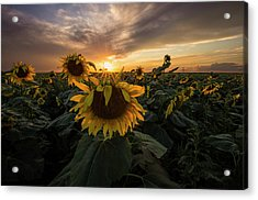 Acrylic Print featuring the photograph Sunflower Sunstar  by Aaron J Groen