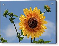 Sunflower Surprise Acrylic Print by Robert Ullmann