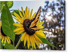 Sunflower Swallowtail Acrylic Print