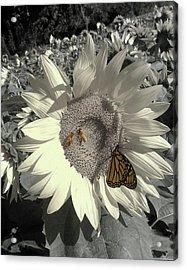 Sunflower Tint Acrylic Print