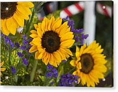 Sunflower Triplets Acrylic Print by Kevin  Sherf