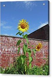 Sunflower Under Blue Skies Acrylic Print by Margie Avellino