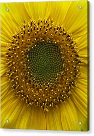Sunflower Acrylic Print by Vari Buendia