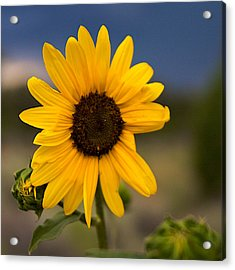 Sunflower Acrylic Print by William Wetmore