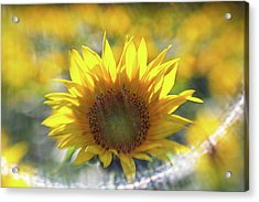 Sunflower With Lens Flare Acrylic Print