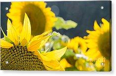 Sunflowers 14 Acrylic Print