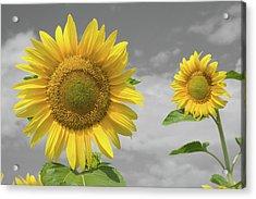 Sunflowers V Acrylic Print