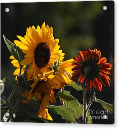 Sunflowers 8 Acrylic Print
