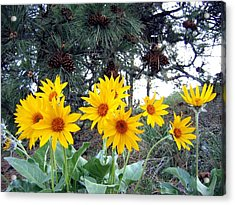 Sunflowers And Pine Cones Acrylic Print by Will Borden