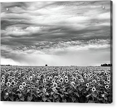 Sunflowers And Rain Showers Acrylic Print by Penny Meyers