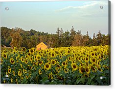 Sunflowers At Colby Farmstand Acrylic Print by Nicole Freedman