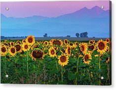 Sunflowers At Dawn Acrylic Print