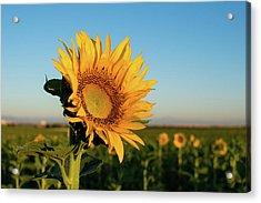Sunflowers At Sunrise 2 Acrylic Print