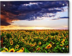 Sunflowers At Sunset Acrylic Print