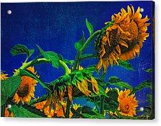 Sunflowers Awakening Acrylic Print