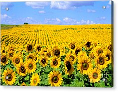 Sunflowers Acrylic Print by Bill Bachmann and Photo Researchers