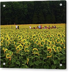 Sunflowers Everywhere Acrylic Print by John Scates