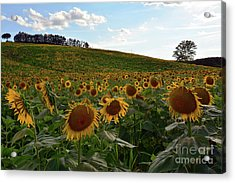 Acrylic Print featuring the photograph Sunflowers Fields  by Frank Stallone
