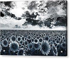 Sunflowers Filed 2 Acrylic Print