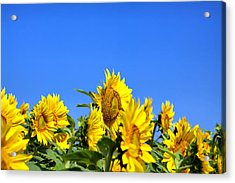 Sunflowers Acrylic Print by Gary Smith