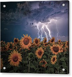 Sunflowers In Adversity Acrylic Print by Brent Shavnore