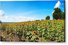 Acrylic Print featuring the photograph Sunflowers In Ithaca New York by Paul Ge