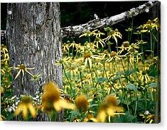 Sunflowers In North Carolina 2 Acrylic Print by Jonathan Hansen