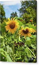 Sunflowers In Sunshine Acrylic Print