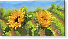 Sunflowers In The Vineyard Acrylic Print by Jerome Stumphauzer