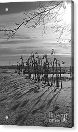 Sunflowers In The Winter Sun Acrylic Print