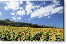 Sunflowers In Waialua Acrylic Print