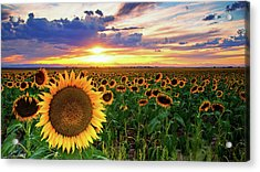Sunflowers Of Golden Hour Acrylic Print