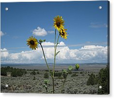 Sunflowers On The Gorge Acrylic Print