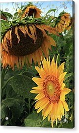 Sunflowers Past And Present Acrylic Print