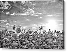 Bw Sunflowers Peep Toward The Sky  Acrylic Print