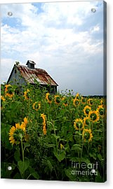 Sunflowers Rt 6 Acrylic Print
